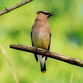 Cedar Waxwing  by Ed Neu - Animals Birds