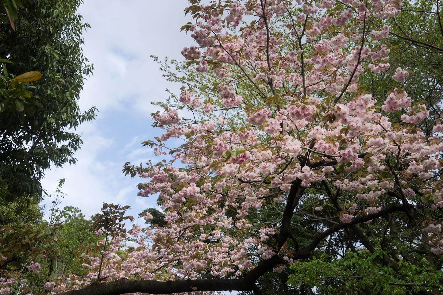 戸越公園の桜
