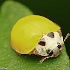 Yellow Spotless Ladybeetle