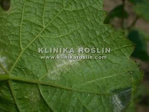 Photo: Mączniak rzekomy - zarodnikowanie na spodzie liści