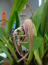 Photo: Maxillaria
