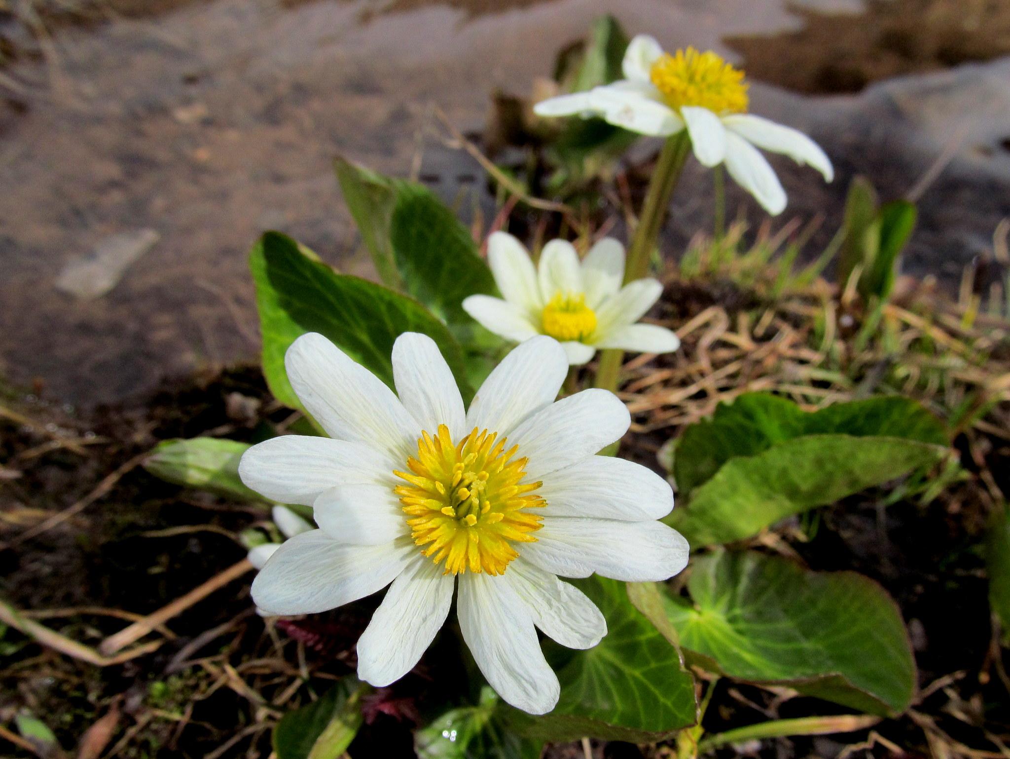 Photo: Marsh Marigold (Caltha leptosepala)