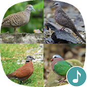 Appp.io - Spotted dove sounds
