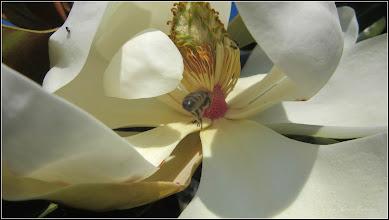 Photo: Magnolia grandiflora - din Parcul Teilor - 2017.06.11