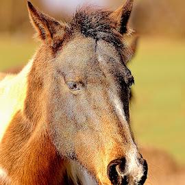 Alezan dans le soleil by Gérard CHATENET - Animals Horses