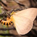 Fuzzy Bunny Moth
