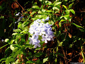 Photo: #019-Plumbago Capensis (dentelaire du Cap) au Club Med de Bodrum.