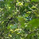 Green Billed Malkoha