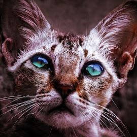 by Kumar Munna - Animals - Cats Kittens ( eye, close up, kitten, cat, emotional,  )