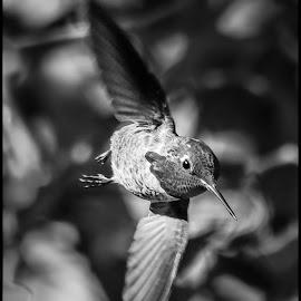 Anna Hummingbird by Dave Lipchen - Black & White Animals ( anna hummingbird )