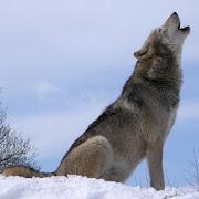 Wolf Howl Sound