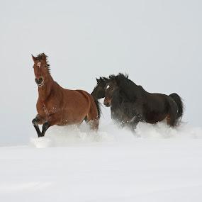 run by Eriks Zilbalodis - Animals Horses ( animals, winter, horses, white, brown, run, black )