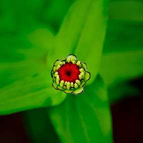 Newly born by Asmar Hussain - Nature Up Close Flowers - 2011-2013 ( macro, new bie, love green, green, redish, flower )