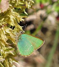 Photo: Green hairstreak butterfly 26 April 2015 © Keith Gittens 2015