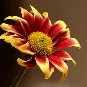 Mini Chrysanth by Chrissie Barrow - Flowers Single Flower ( red, single, stamens, petals, chrysanthemum, brown, stem, yellow, cut, bokeh, mini, flower, miniature,  )