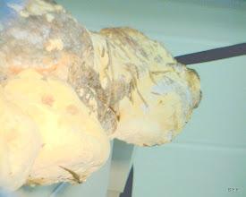 Photo: Heterobasidion annosum (Fomes annosus)