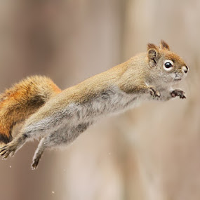 I can fly! by Mircea Costina - Animals Other Mammals ( mammals, wild, flying, red, wildlife, forest, squirrel )