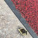 Harlequin Flower Beetle, Arizona Jewel Beetle
