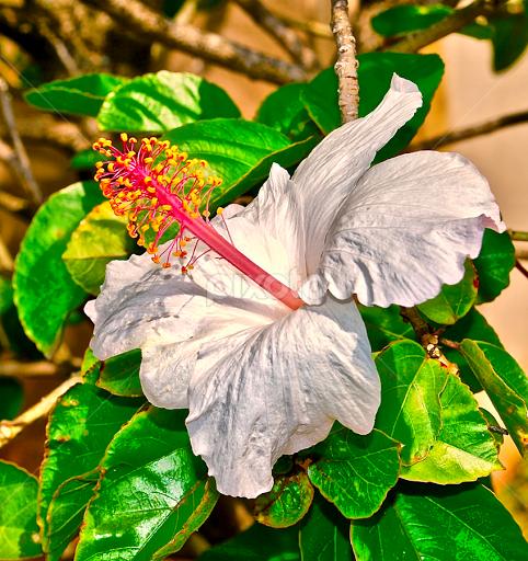 Native hawaiian white hibiscus single flower flowers pixoto native hawaiian white hibiscus by doug wean flowers single flower white flower maui mightylinksfo