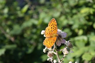 Photo: Brenthis daphne    Lepidoptera Nymphalidae