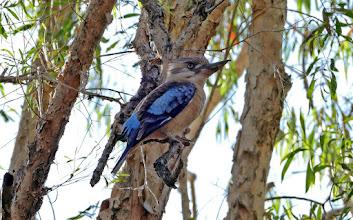 Photo: Day 4 -  Blue-winged Kookaburra at Gungural © Ian Morris