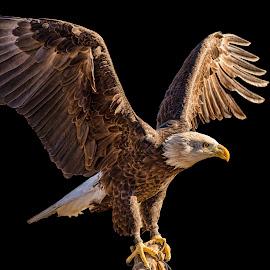by Judy Rosanno - Animals Birds ( birds of prey, february 28th 2018, kerrville renaissance festival,  )