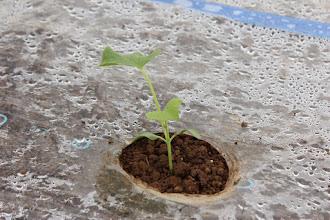 Photo: 2月 アムスメロン(Ⅰ型)の定植が始まりました。