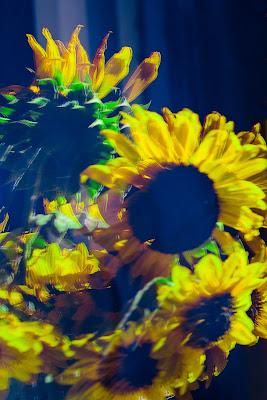 Sunflowers reflection di GIORGIO VOLPONI
