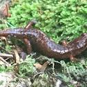 Pygmy Salamander