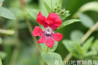 Photo: 拍攝地點: 梅峰-溫帶花卉區 拍攝植物: 雪茄花 拍攝日期:2012_09_27_FY