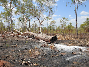 Photo: Trees that are important to hollow nesting birds, including Gouldian Finches, are destroyed by inapropriate fire regimes and carelessness on the part of smokers and campers...