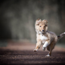 Runing pup by 'Monique Smit - Animals - Dogs Running ( sheltie, forest, v, pup, breed,  )