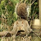 Southern Grey Squirrel