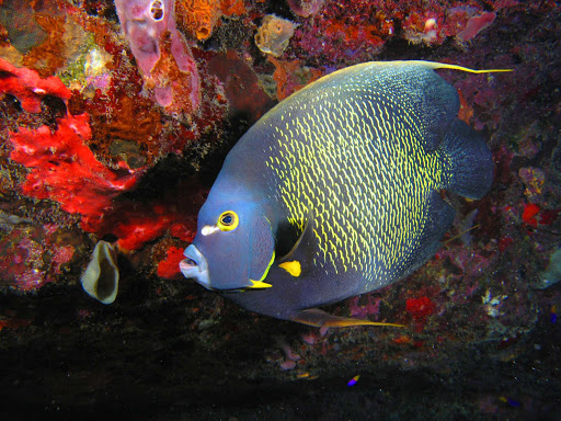 Angel fish spotted during snorkeling, a top attraction at Statia National Marine Park surrounding St. Eustatius.
