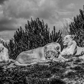 Pride by Garry Chisholm - Black & White Animals ( nature.mammal, lioness, big cat sanctuary, lion, garry chisholm )