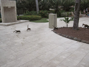 Photo: Baby coatis at the Westin Playa Conchal. So many coatis and no fear of people