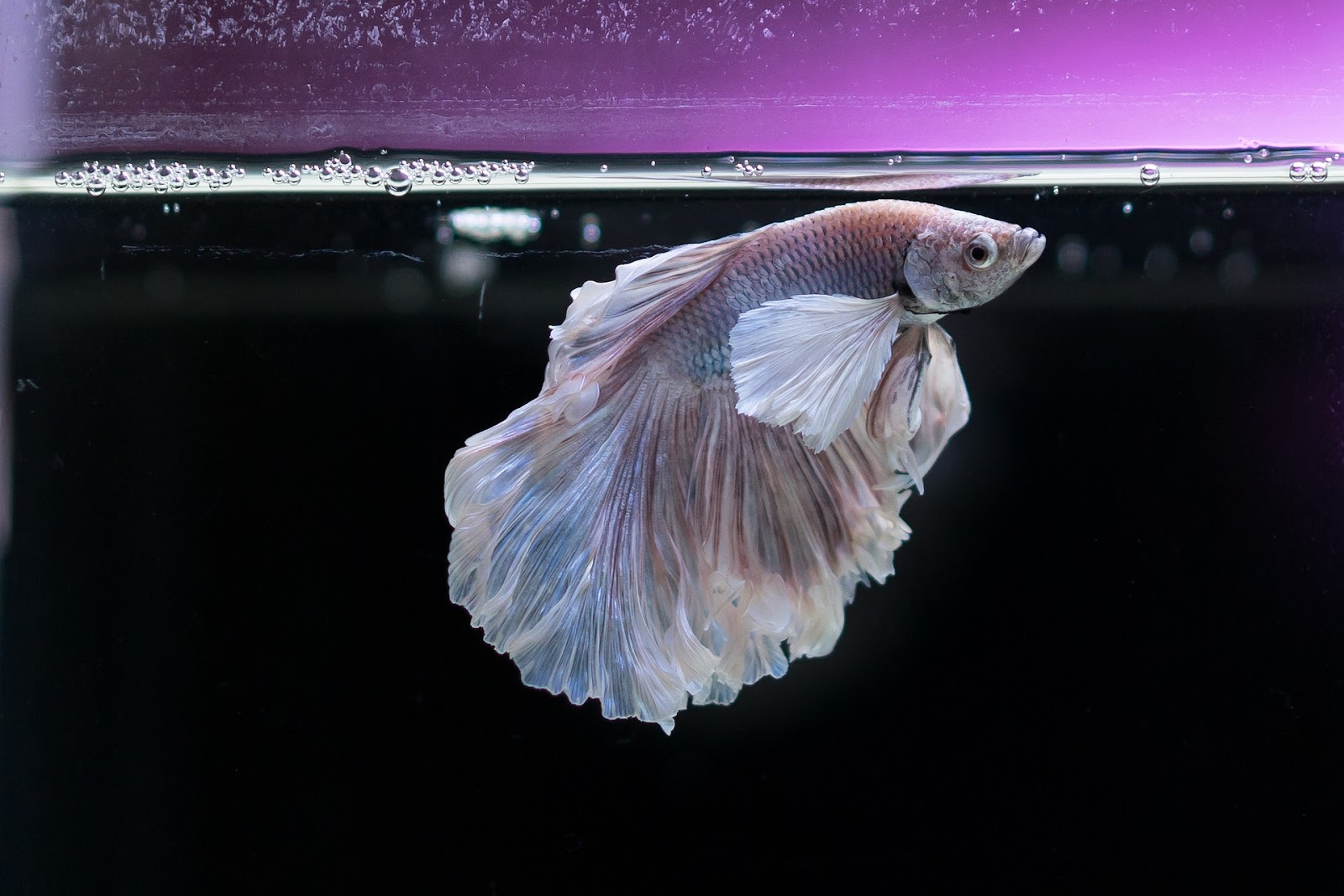 Fish with flowing fins