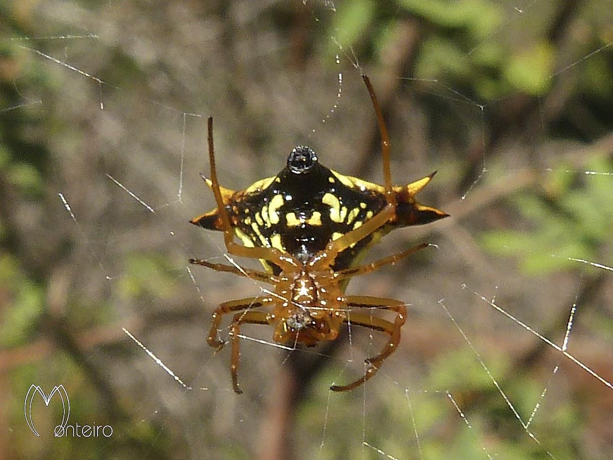 Spined back spider