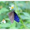 Euploea mulciber (male) 異型紫斑蝶
