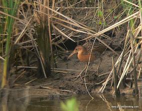 Photo: King Rail, Anahuac National Wildlife Refuge, east Texas