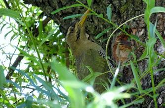 Photo: female green bellied woodpecker