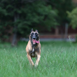 Amber by Peter Driessel - Animals - Dogs Running