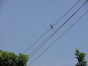 Photo: Bee eater on a wire.