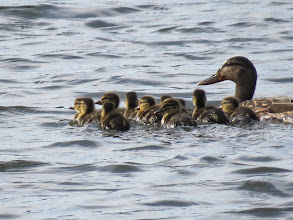 Photo: Priorslee Lake gulp: Mum Mallard with 11 – count them – ducklings. Note how the bill stands proud of the face, presumably a moult-effect, inviting confusion with Shoveler. (Ed Wilson)