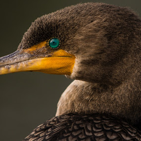 Cormorant at the Everglades by Andy Goo - Novices Only Wildlife ( bird, face, cormorant, florida, beak, everglades, feathers, eye )