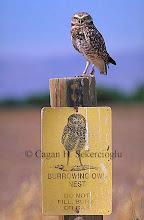 Photo: Burrowing owl on sign. Salton Sea National Wildlife Refuge, California, USA.