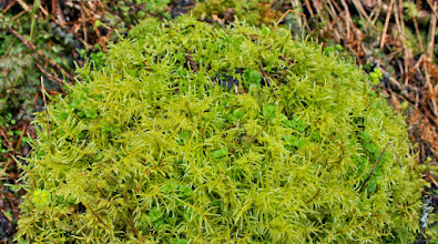 Photo: Cirriphyllum piliferum cushion with scattered red shoots of Loeskeobryum brevirostre, the liverwort Plagiochila asplenioides and opposite leaved golden saxifrage.