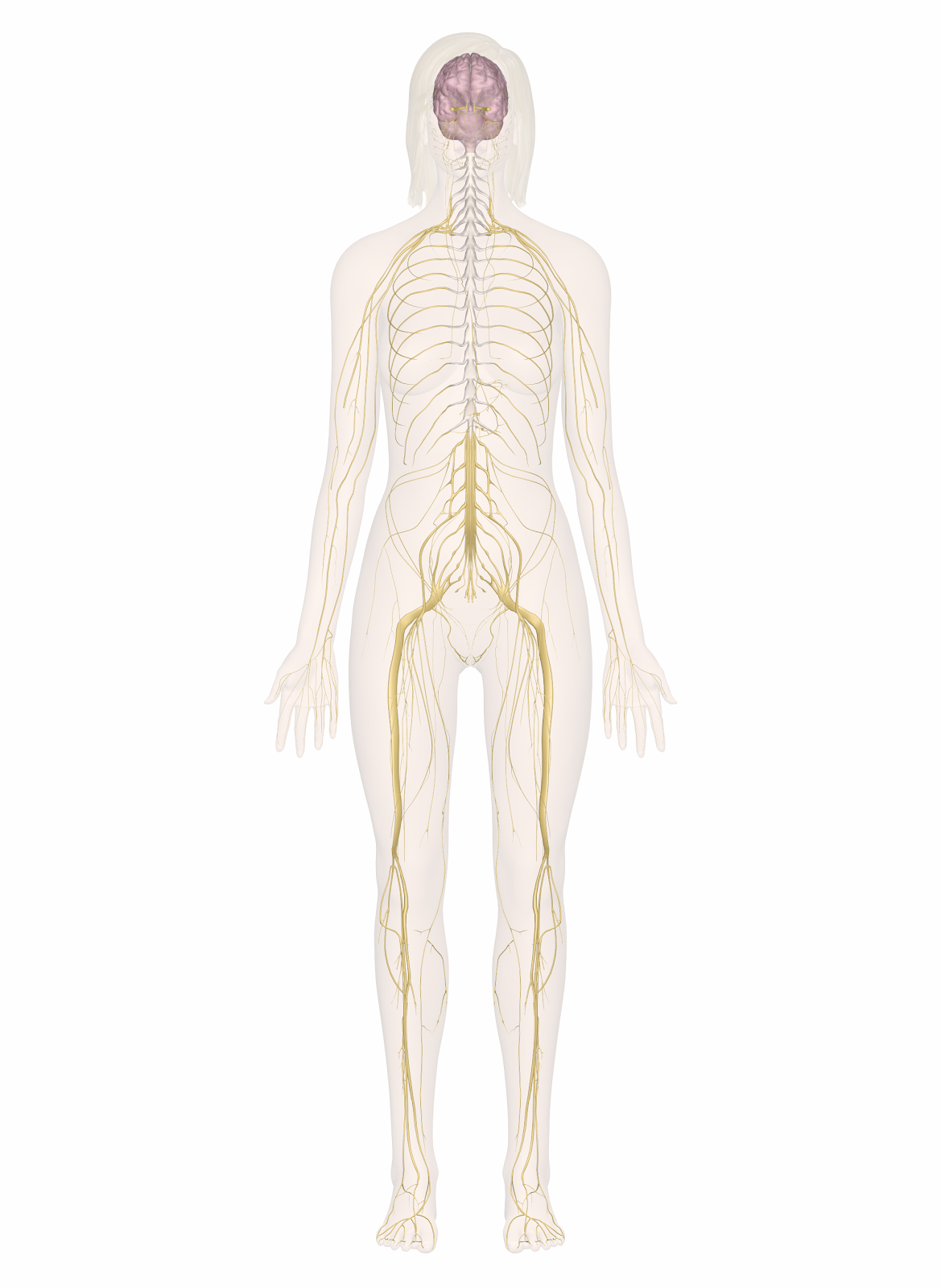 http://www.innerbody.com/assets/nervous_system.png