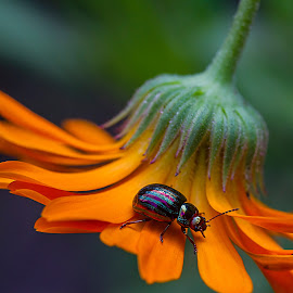 Insect visits the calendula by Miranda Luyckx - Animals Insects & Spiders