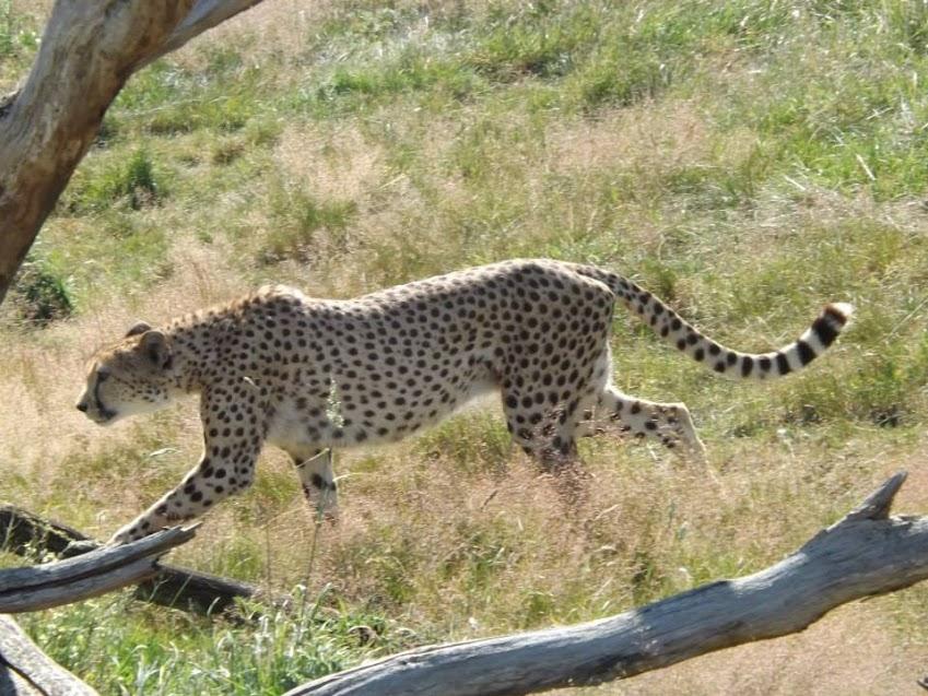 Guépard d'Afrique du Sud, la Boissière du Doré - Tous droits réservés